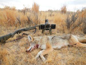 Nov 2012 Coyotes 008